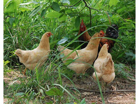 西山农家草鸡